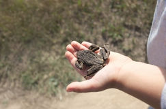 Hand with a Toad Royalty Free Stock Photography