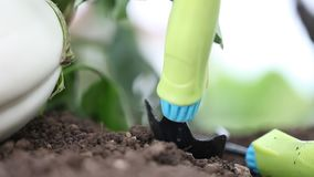 Hand with tools work the soil in vegetable garden of white eggplant stock video footage