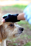 Hand on top of head of dog. Close view of a domestic dog receiving care with hand of person on his head Royalty Free Stock Photo
