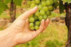 Hand touch grape wine Stock Photography