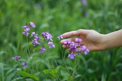 A hand touch grass and purple flower in summer spring park outdoor at a sunny day hope peace concept. A woman hand touch on grass and purple flower lawn in stock photo