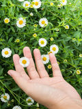 Hand touch on little white Daisy Royalty Free Stock Photo