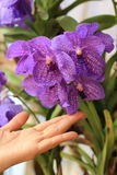 Hand touch orchid flower Stock Images