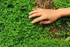 Hand touch selaginella uncinata Stock Photography