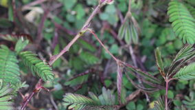 Hand Touch And Tickle Mimosa Pudica, Sensitive Plant, Sleepy Plant. stock video footage