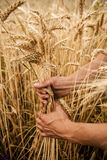 Hand touch wheat Stock Photo