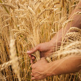 Hand touch wheat Stock Photography