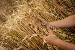 Hand touch wheat Royalty Free Stock Photo