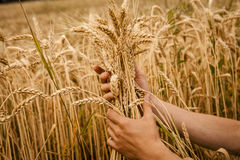 Hand touch wheat Royalty Free Stock Image