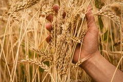 Hand touch wheat Stock Photos