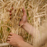 Hand touch wheat Stock Images