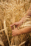 Hand touch wheat Stock Image