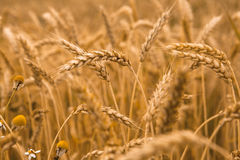 Hand touch wheat Royalty Free Stock Photos