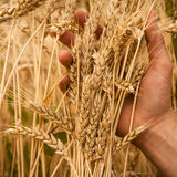 Hand touch wheat Royalty Free Stock Photography