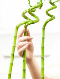 Hand touching bamboos against white background Stock Image