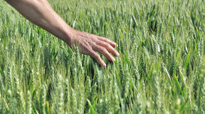 Hand touching barley. Hand touching the ears of barley in a field Stock Images