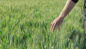 Hand touching barley. Hand touching the ears of barley in a field Stock Image