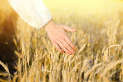 Hand touching barley stems on golden field. On sunny day Stock Photos