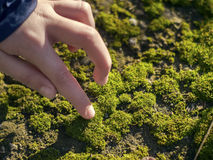 Hand touching beautiful and bright green moss Royalty Free Stock Photo