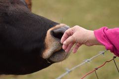 Hand touching cow Royalty Free Stock Image