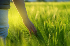 Hand touching crops in field. Close-up of woman hand touching crops in field Stock Image