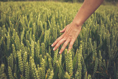 Hand touching crops in field Stock Photography