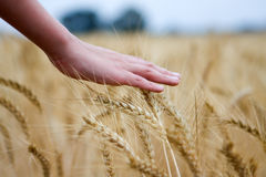Hand touching dry wheat ears Royalty Free Stock Photo