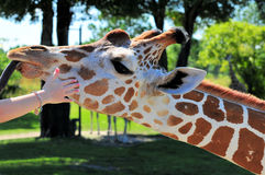 Hand Touching a Giraffe Stock Images