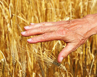 Hand touching golden wheat Stock Photos