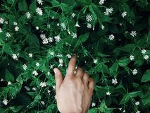 Hand touching green grass with white flowers in spring park, env Royalty Free Stock Photo