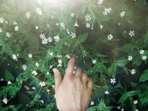 Hand touching green grass with white flowers in sun light rays i Stock Images