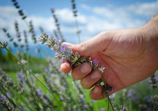 Hand touching lavender flowers. Male hand touching or picking up lavender flowers in a field Royalty Free Stock Images