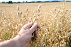 Hand touching mature oats Stock Images