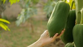 Hand touching papaya fruit