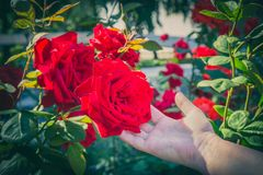 Hand touching the rose flower royalty free stock photos