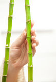 Hand touching tenderly young bamboos Stock Images