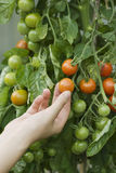 Hand Touching Tomatoes On Plant Royalty Free Stock Image