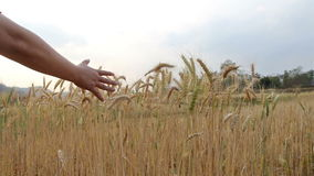 Hand touching top of wheat stock video