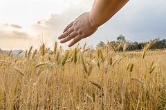 Hand touching top of wheat. Field Stock Photo