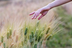Hand touching top of wheat. In field Stock Photography