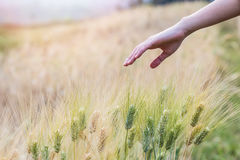 Hand touching top of wheat. In field Royalty Free Stock Images