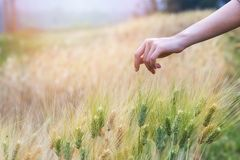 Hand touching wheat. Hand touching top of wheat Royalty Free Stock Photography