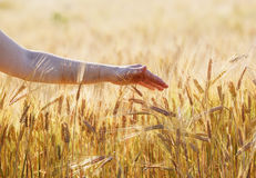 Hand touching a wheat ears. Female hand touching a wheat ears. Golden wheat field. Shallow depth of field. Selective focus Stock Photo