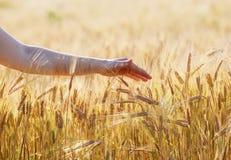 Hand touching a wheat ears Stock Photo