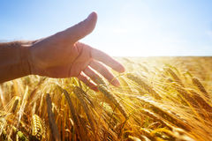 Hand Touching Wheat Ears In A Golden Field Stock Image