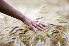 Hand touching wheat field. Hand touching cereals representing the human nature relationship Royalty Free Stock Photos