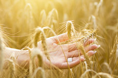 Hand touching wheat field. Female hand touching wheat field Royalty Free Stock Photography