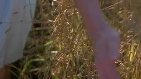 Hand touching the wheat. In russia stock footage