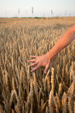 Hand Touching Wheat. Male hand touching wheat plands at field Royalty Free Stock Images