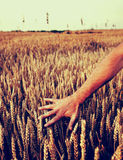 Hand Touching Wheat. Male hand touching wheat plands at field Royalty Free Stock Photos